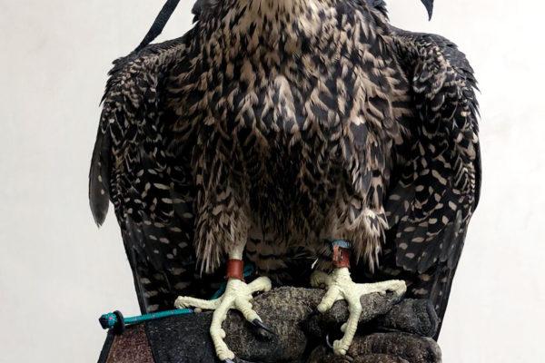 falconry-spain