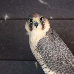 peregrine-falcon-g03
